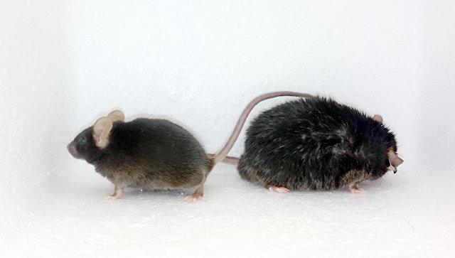 Биологи открыли необычную цепочку нервных клеток в мозге, управляющих сжиганием лишних калорий
