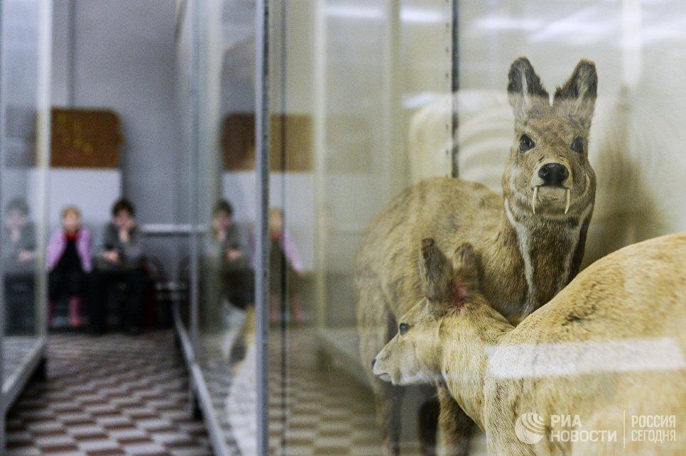 Саблезубая кабарга в зоологическом музее Санкт-Петербурга