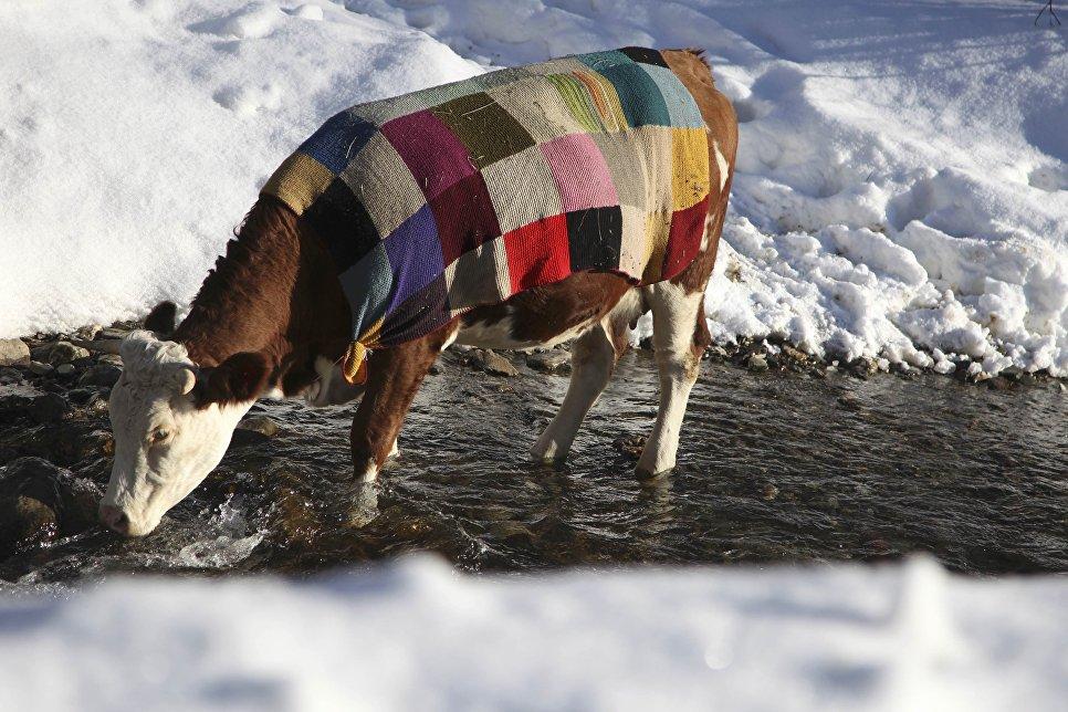Корова, накрытая цветным одеялом пьет воду из реки близ Приштины, Косово