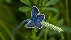 Бабочка из семейства Голубянок