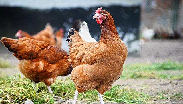 В Японии уничтожили около 92 тысяч кур из-за вспышки птичьего гриппа