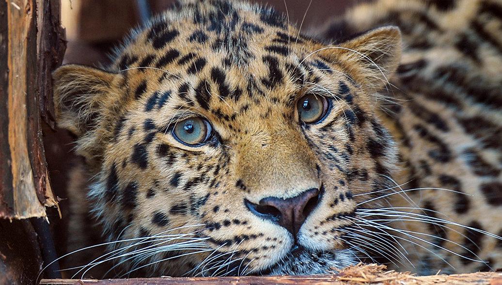 В Приморье привезут самку леопарда из Украины