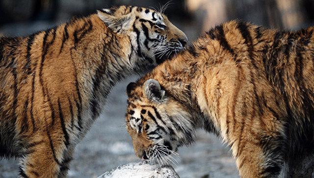 Иностранца скостями 2-х тигров словили вПриморье