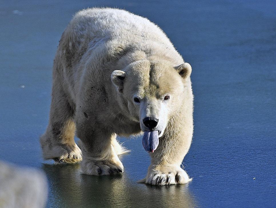 Белый медведь идет по льду в зоопарке в Гельзенкирхене, Германия