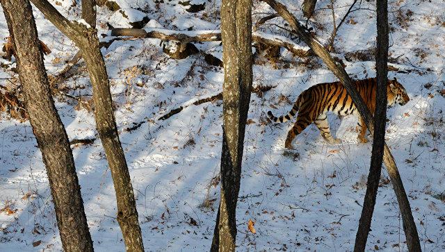 Заубийство и реализацию дериватов тигра под суд пойдут браконьеры изДальнегорска