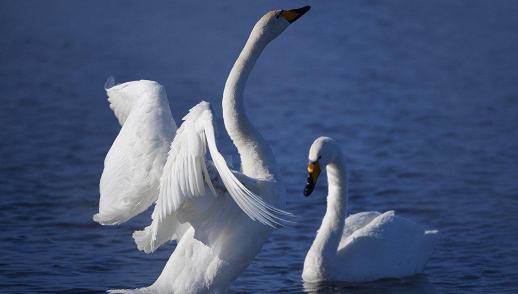 Из-за разлива нефтепродуктов вБалтийске погибли 10 лебедей