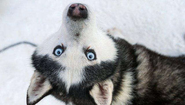 Собака породы хаски. Архивное фото