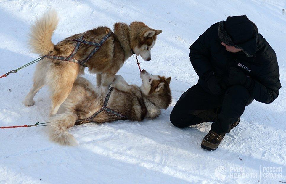 Собаки породы хаски на территории парка Сокольники в рамках проведения реабилитационной и образовательной программы По пути с хаски