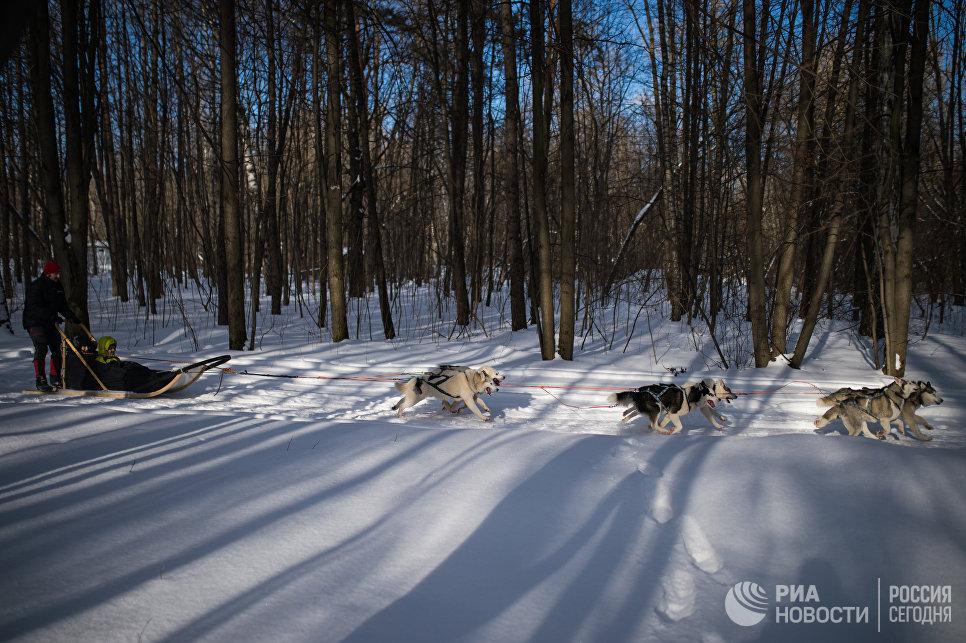 Собаки породы хаски катают детей на территории парка Сокольники в рамках реабилитационной и образовательной программы По пути с хаски
