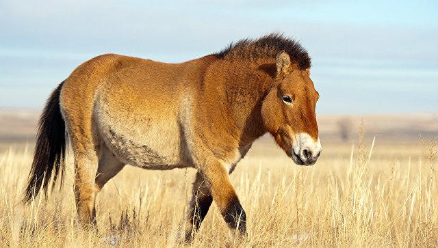 Важнейшим условием для реинтродукции лошади Пржевальского было включение территории ее будущего обитания в состав ООПТ федерального значения. Для этого в 2015 году территория военного полигона общей площадью 16,5 тыс. га была присоединена к заповеднику Оренбургский.