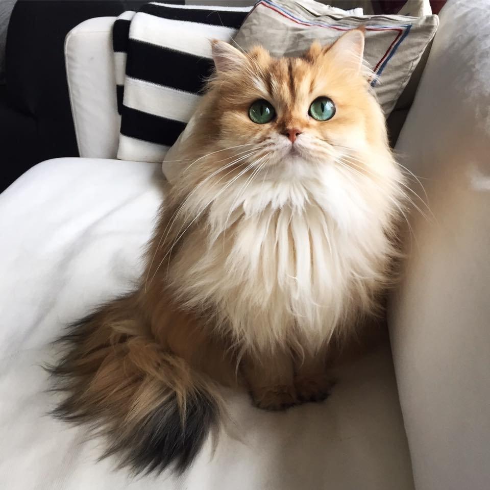 Нелюдимого манула покажут вМосковском зоопарке вчесть интернационального дня кошек