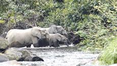 Лесные слоны в Габоне