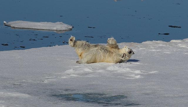 Белый медведь в Северном Ледовитом океане между Землей Франца-Иосифа и Северным полюсом