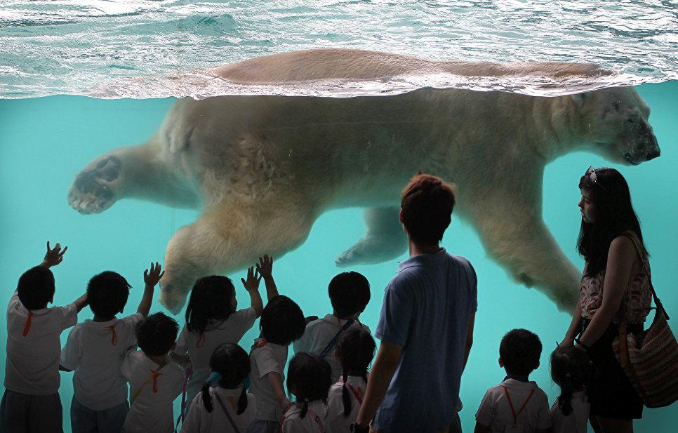 Полярный медведь в зоопарке Сингапура