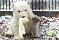 Белый медвежонок в зоопарке города Мюлуз, Франция
