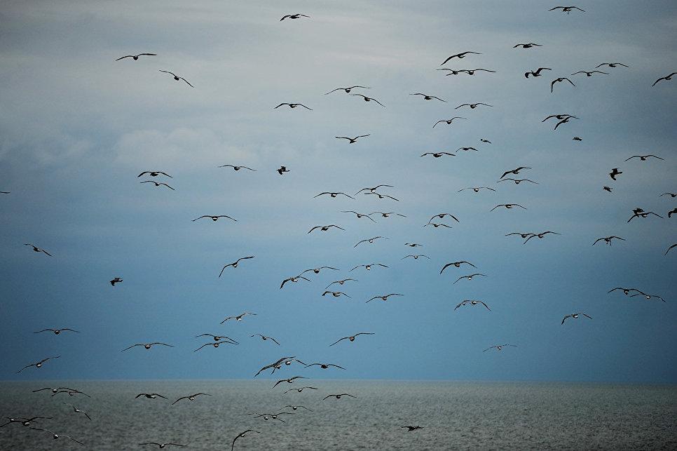 Чайки над дюной Эфа.
