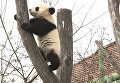 Шестимесячные панды впервые вышли на прогулку в венском зоопарке