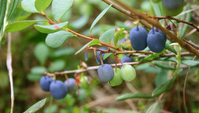 ВНижегородской области будет создано ягодное хранилище
