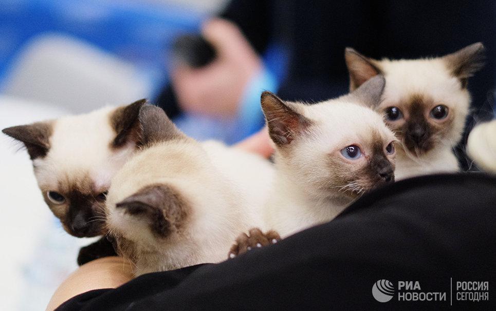 Кошки миниатюрной породы той-боб на международной выставке Кэтсбург 2017 в Москве