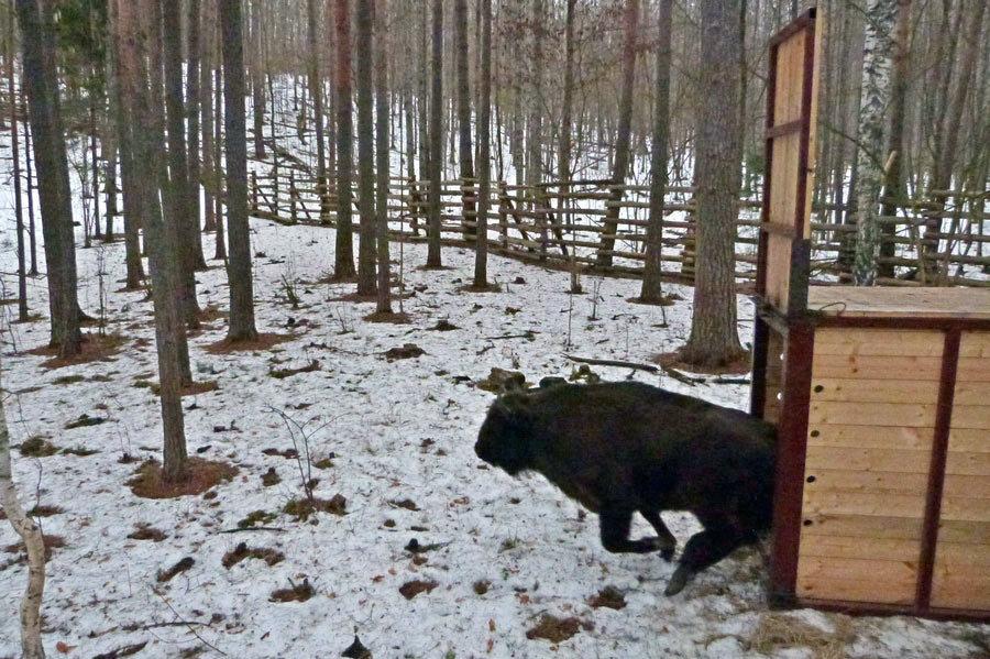 Две зубрицы пополнили стадо «Брянского леса»