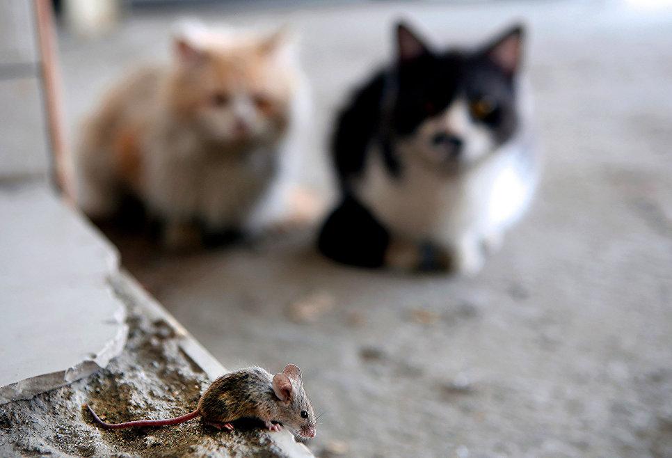 Коты наблюдают за мышью на улице Кувейта