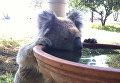 Коала пьет из птичьей ванны в Гуннеде, Австралия