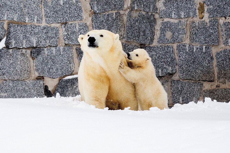 Белый медведь Венера с ее детенышем в парке дикой природы в Рануа, Финляндия