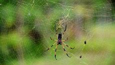 Пальмовый паук на острове Ла Диг, Сейшельские острова. Архивное фото