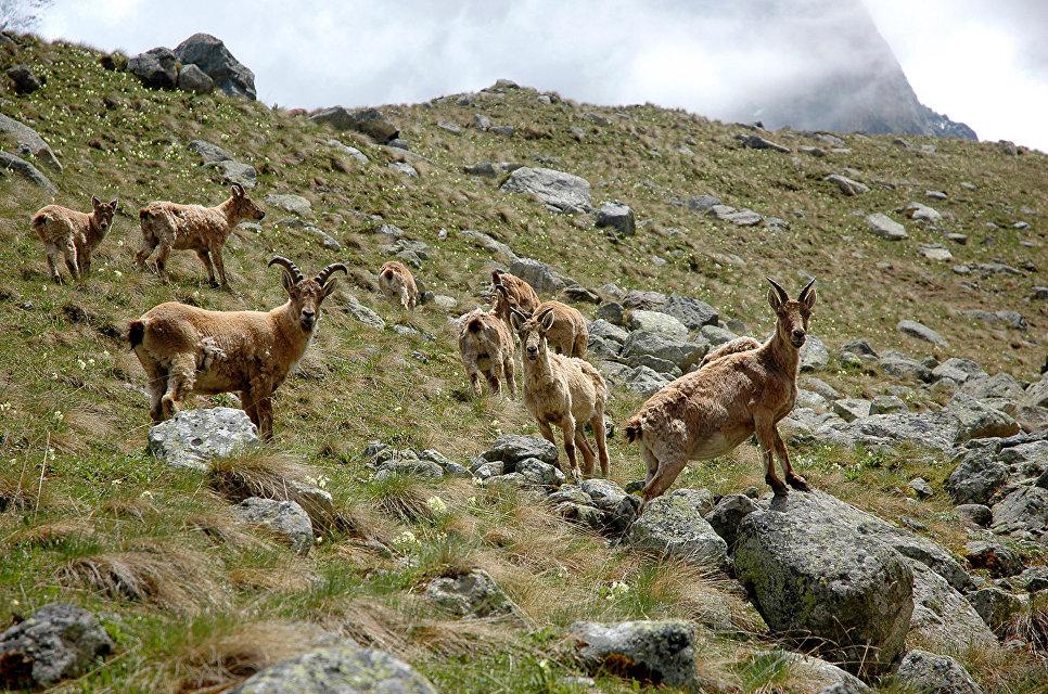 Восточнокавказский тур – подвид западнокавказского тура