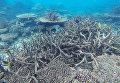 Обесцвечивание Большого Барьерного рифа