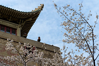 Цветение сакуры в в Уханьском университете в провинции Хубэй, Китай