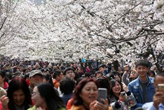 Цветение сакуры в Нанкине, Китай