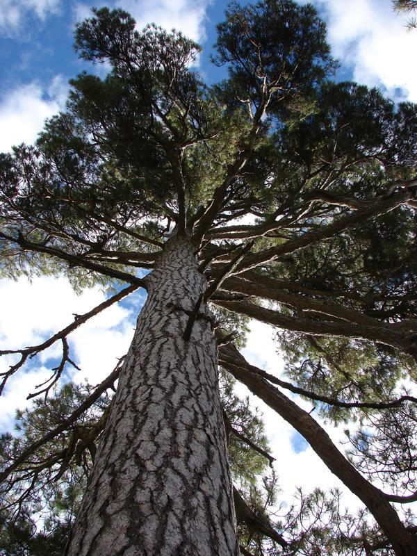 Работа фотографа Excelentisima Diputacion de Avila Aprisquillo Pine для 2017 European Tree of the Year