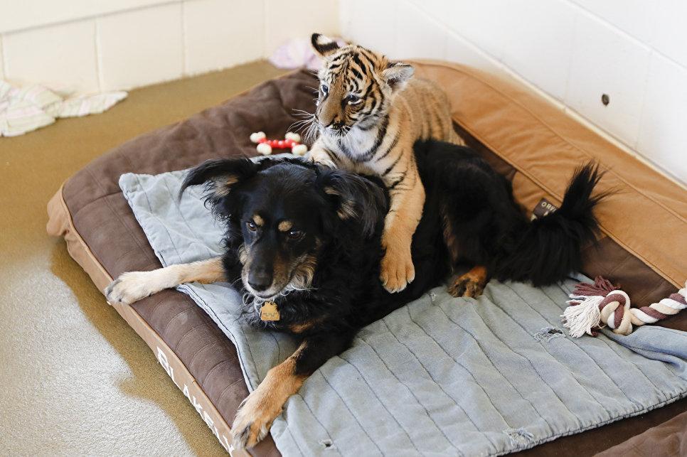 В зоопарке и ботаническом саду Цинциннати малазийский тигренок играет с домашней собакой