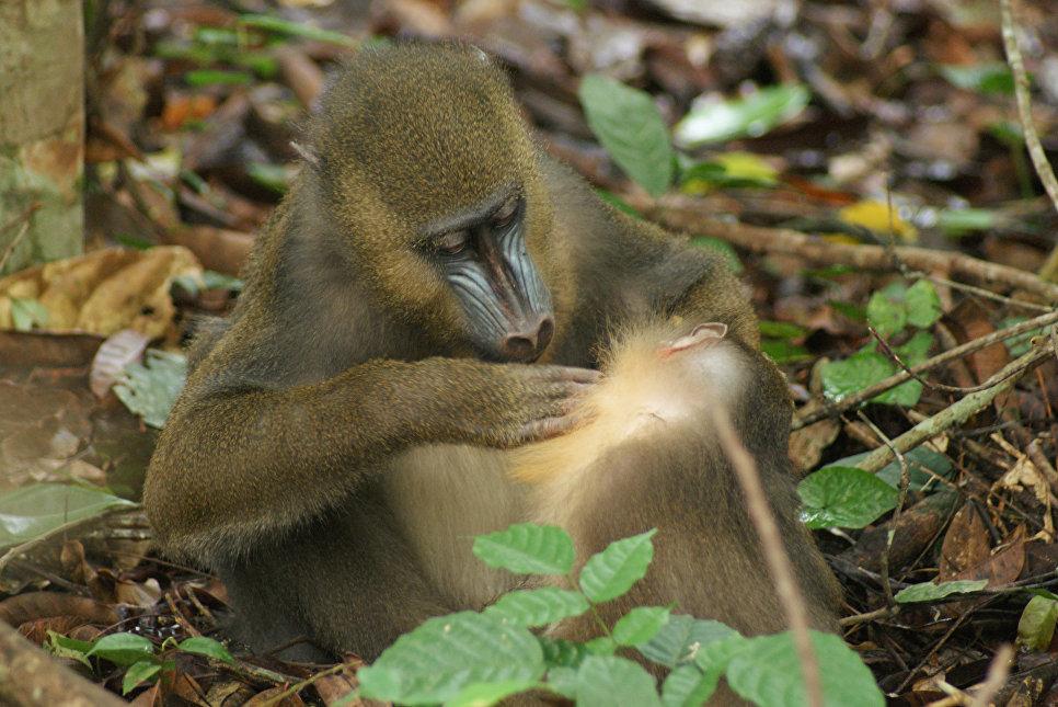 Ученые: Приматы определяют больных сородичей позапаху фекалий
