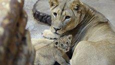 Африканская львица. Архивное фото