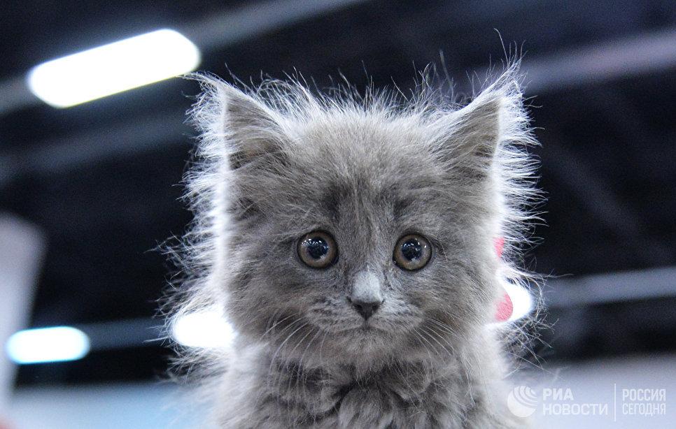 Кошка породы британская длинношерстная на международной выставке Кубок Валенсии - Весна в Москве