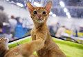 Кошка породы абиссинская на международной выставке Кубок Валенсии - Весна в Москве
