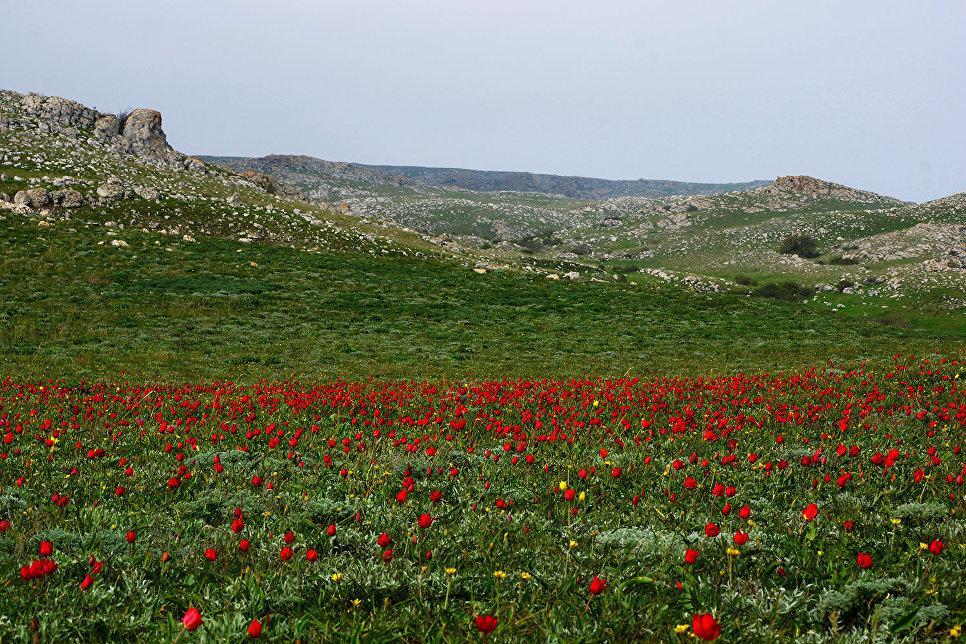Популяция тюльпана Шренка в заповеднике
