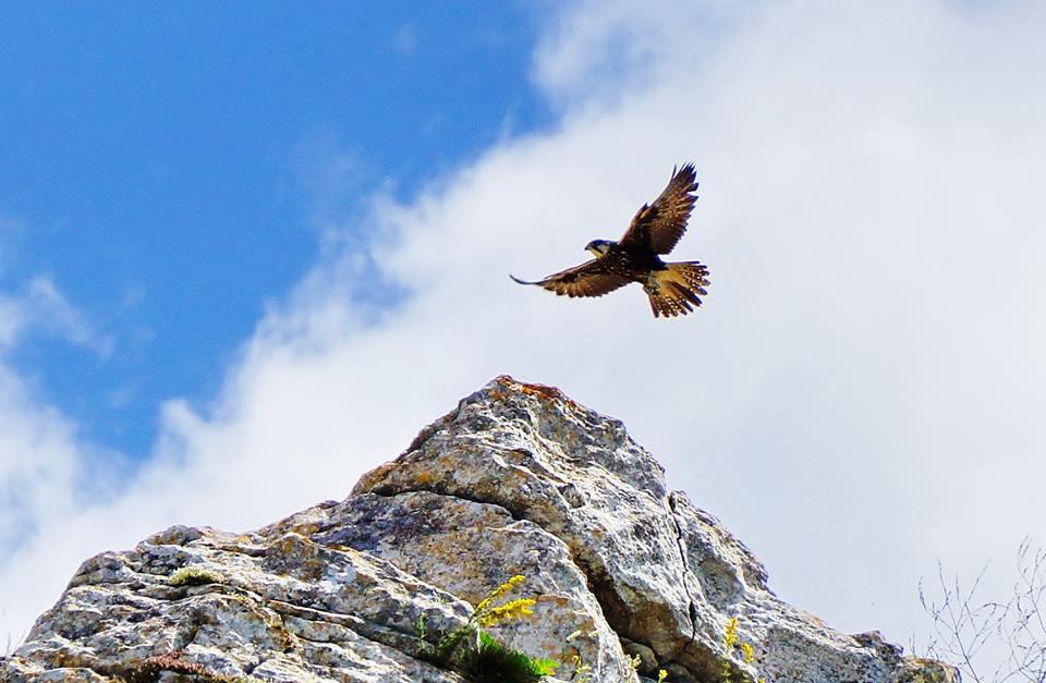 Сокол-балобан над скалой Верхнее плато Опук