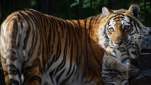 Первая прогулка новорожденных тигрят в Новосибирском зоопарке