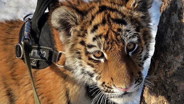 Спасенный в Приморье тигренок поссорился с соседкой-тигрицей