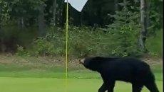 В США медведь выбежал на поле для гольфа, прервав игру
