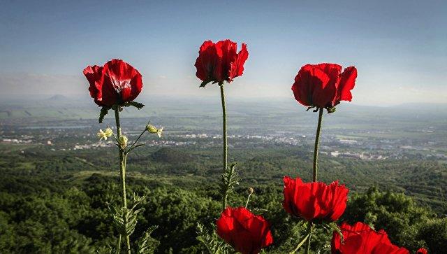 Мак прицветниковый в природоохранном заказнике Бештаугорский на горе Бештау в Ставропольском крае