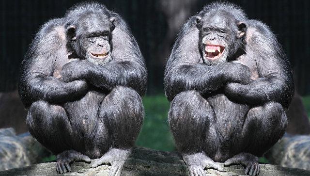 Ученые: Шимпанзе в1,35 раза сильнее человека