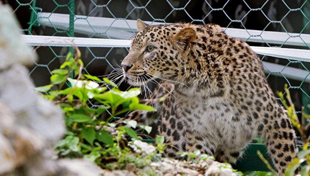На Кавказе выпустят в дикую природу пять переднеазиатских леопардов