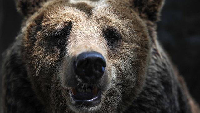 НаКамчатке убили медведя, гулявшего натерритории клиники