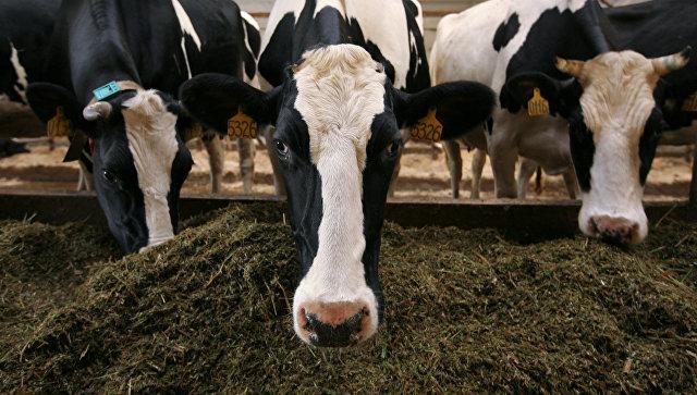 Белорусы спроектируют для Иркутской области молочные фермы