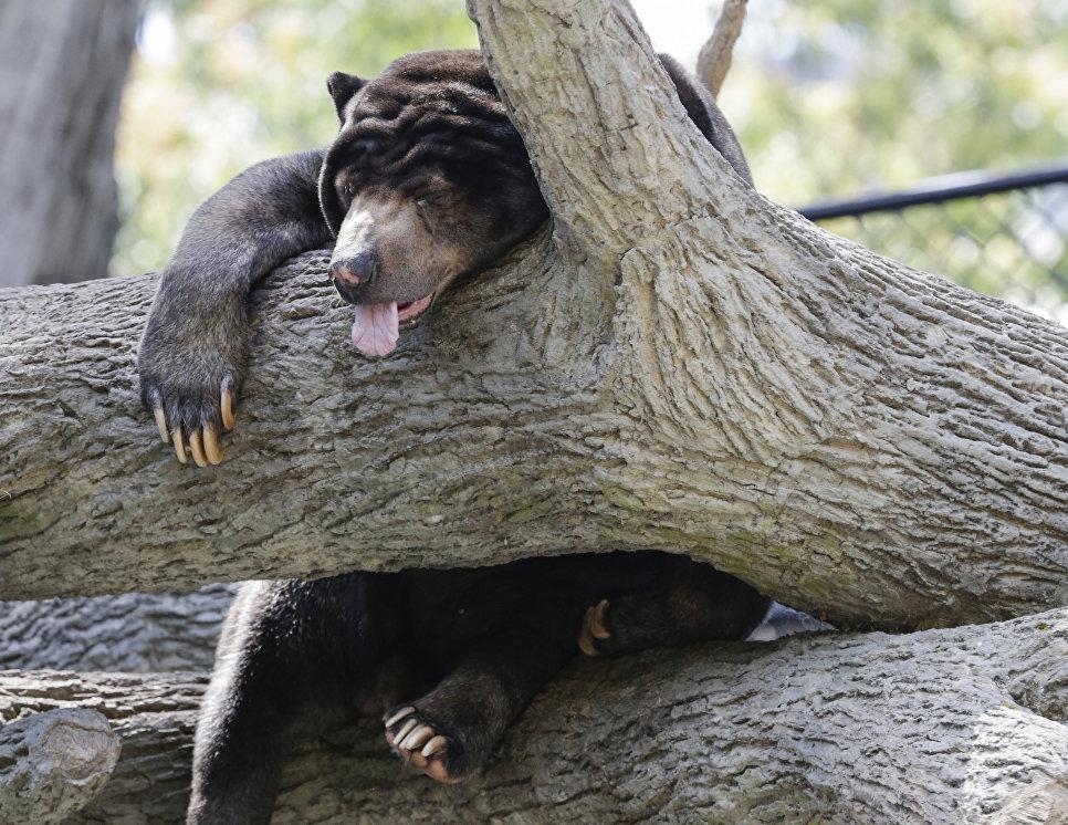 Малайский медведь спит на дереве в зоопарке Генри Дурли в США