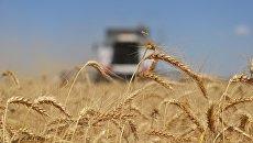 Уборка пшеницы в СПК Кировский в Ипатовском районе Ставропольского края